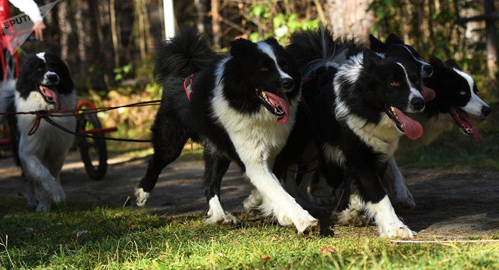Собачья упряжка. Архивное фото