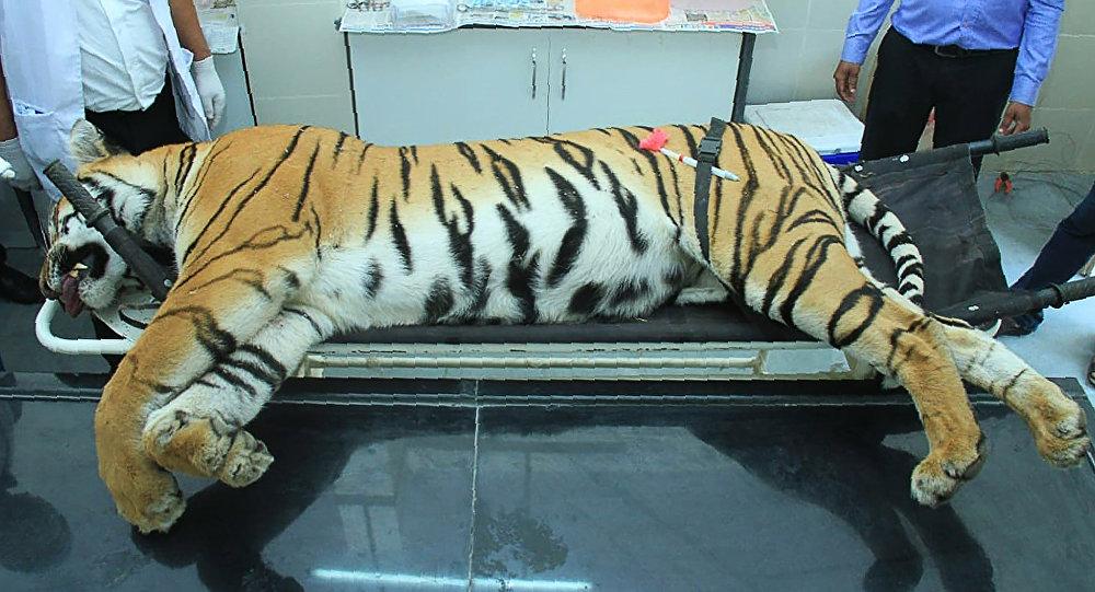 Туша тигрицы-людоеда Т-1, убитая в индийском селе Борати штата Махараштра. 3 ноября 2018 года
