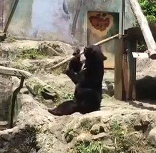 Медведь крутит палкой, как мастер кунг-фу, — смешное видео