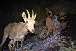 Горные козлы, попавшие в фотоловушку в Чоң-Алайском районе Ошской области в местностях Тараша, Миң-теке,Текелик и Шибе.