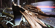 Дерево пострадавшее от дтп. Архивное фото