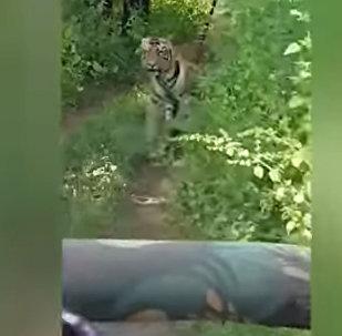 Туристы так хотели встречи с тигром, но еле унесли ноги от него. Видео