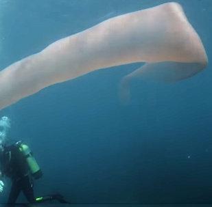 Гигантское необычное существо сняли на видео дайверы в Новой Зеландии