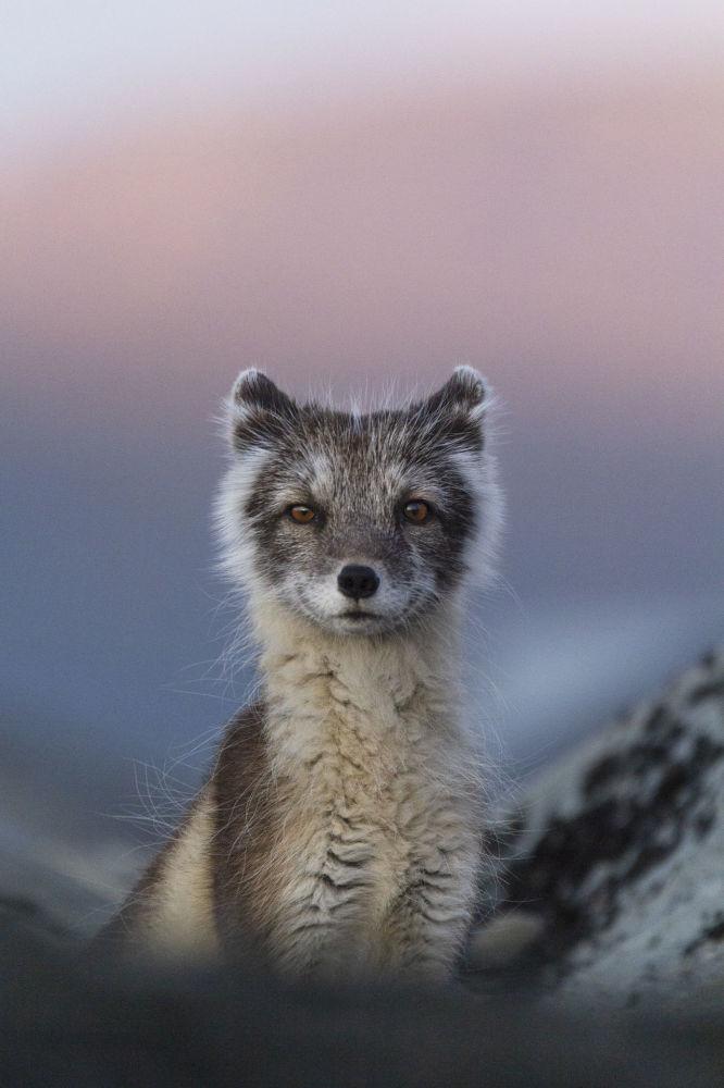 Лучшей работой молодого фотографа (до 17 лет) признан снимок полярной лисы на закате, сделанный Карлой Ривас из Испании