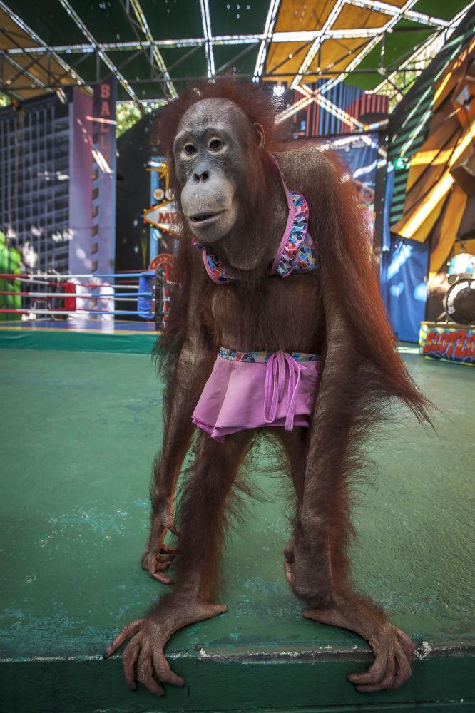 Кадр Орангутан в бикини принес британцу Аарону Гекоски победу в номинации Человек и природа