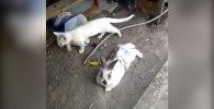 Мышыкты куткаруу үчүн жанталашып жер казган коендун видеосу
