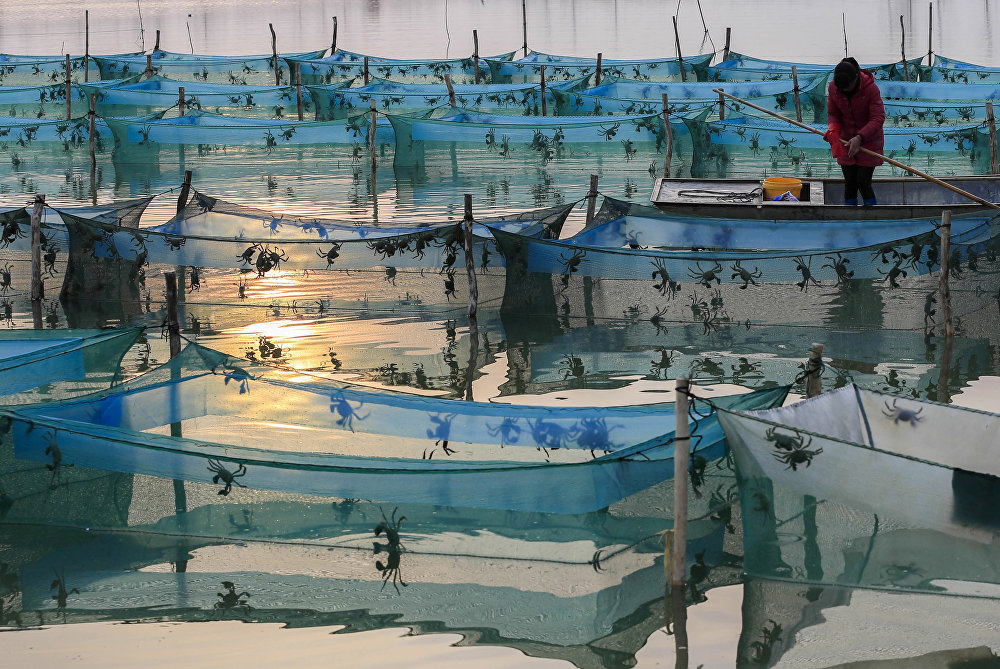 Кытайдын Хунцзэху дарыясында краб өстүргөн ферма