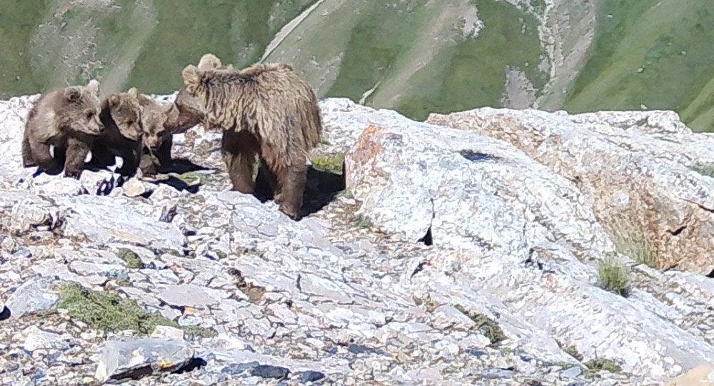 Медведь с детенышами снятая на фотоловушку в долине реки Энилчек