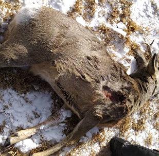 Эликти мыйзамсыз аткан браконьер кармалганын Германиянын Жаратылышты коргоо союзунун (NABU) Кыргызстандагы өкүлчүлүгү билдирди