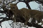 Львицы устроили склоку, не поделив спрятанную леопардом добычу. Видео
