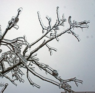 Замерзшие ветви дерева. Архивное фото