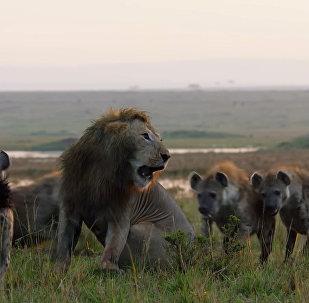 Гиены загнали льва в угол, от неминуемой гибели его спас соплеменник. Видео