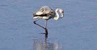 Фламинго попавшая на фотоловушку на территории КР