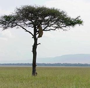 Лев, застрявший на дереве, стал посмешищем в соцсетях. Видео