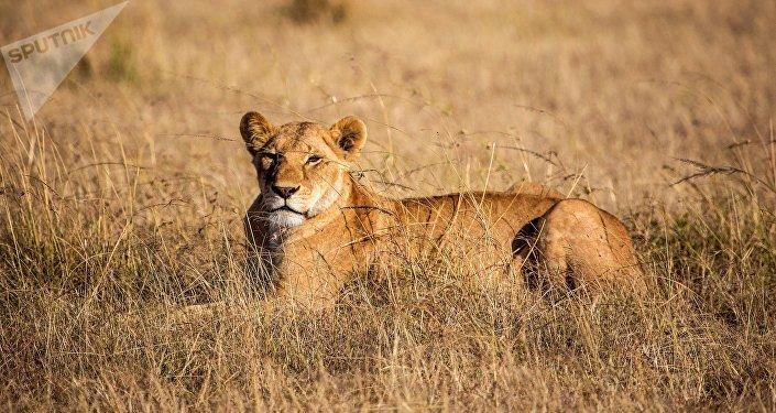 Львица. Архивное фото