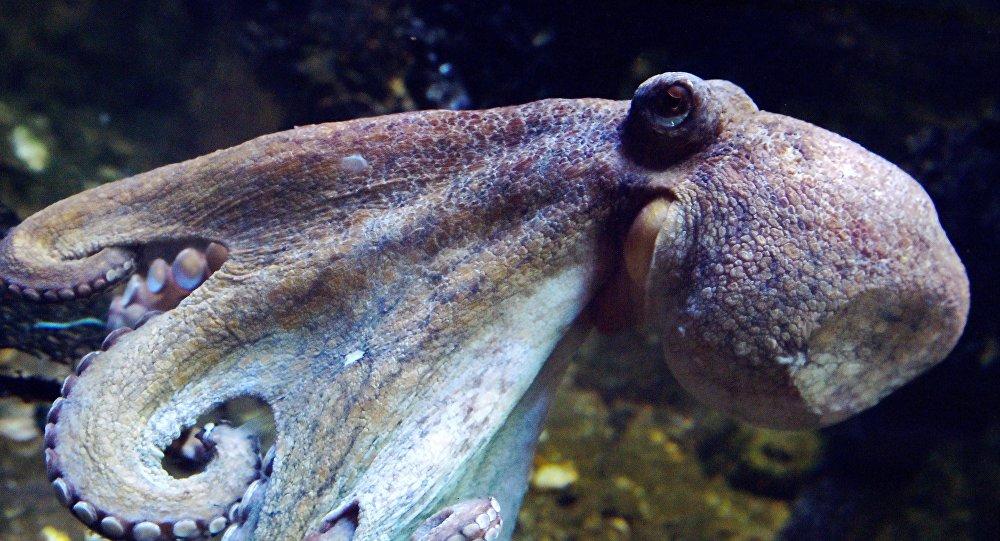 Осьминог плавает в океане. Архивное фото
