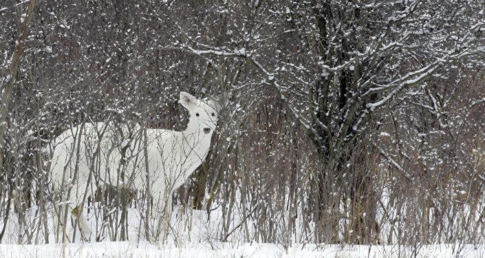 Белый олень. Архивное фото