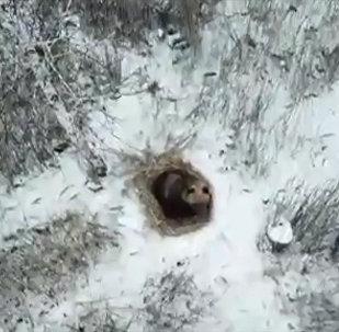 Медведь решился на спячку рядом с городом — опасен для людей. Видео
