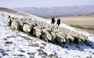 Отара овец. Архивное фото
