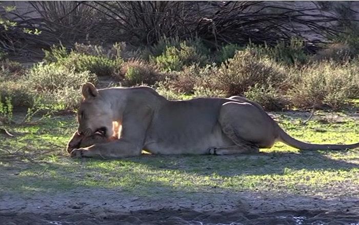 videoroliki-safari-iz-poslednih-sil-trahaet-v-pisulyu-foto
