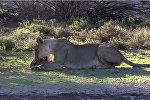 Смогли только облизать — как черепаха спаслась двух львов. Видео