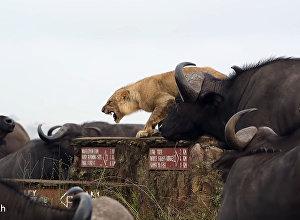 Буйволы загнали львицу в угол, окружив всем стадом, — видео