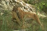 Охота рыси на сурка и волк с ягненком в пасти — видео из заповедника КР