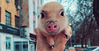 Карликовая свинья стала популярнее многих людей в Instagram — забавное видео