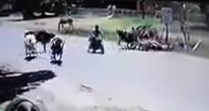 Кунг-фу-корова ударом ног сбила мотоциклистку — видео