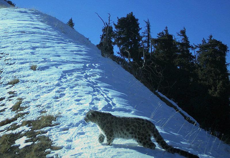 Снежный барс попал в фотоловушку в государственном природном парке Хан Тенири