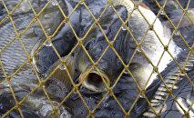 Отлов рыбы в рыбном хозяйстве. Архивное фото