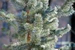 Покрытые инеем ветки елки. Архивное фото