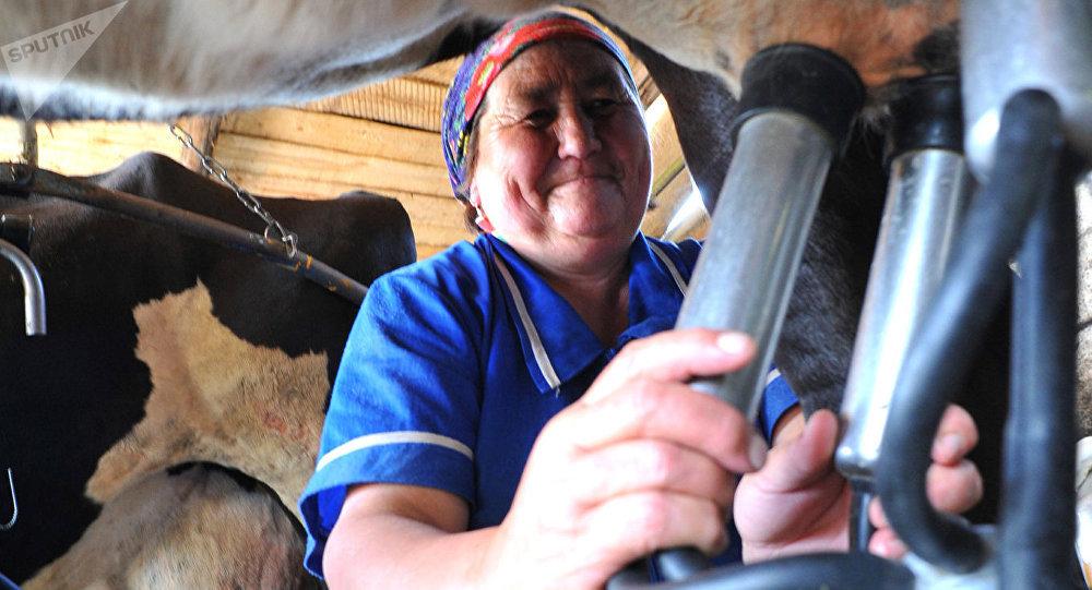 Работница полевой молочной фермыснимает доильный аппарат после окончания доения. Архивное фото