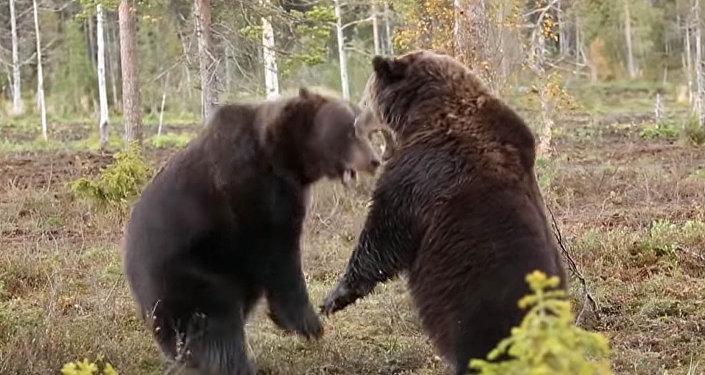 Свирепый бой громадных бурых медведей сняли на видео