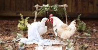 В американском штате Джорджия фотограф Эрин Бэнкстон устроила свадьбу петуха и курицы