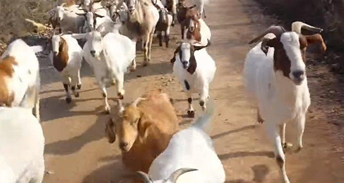 Стадо коз составило компанию американцу во время пробежки — забавное видео
