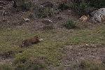 Леопард на лету настиг антилопу — уникальное видео из ЮАР