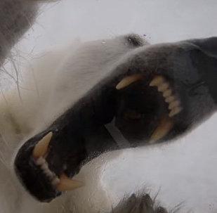 Белая медведица напала на храброго оператора, он держался 45 минут — видео