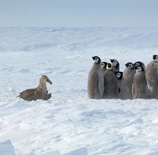 Маленький, но дерзкий, — пингвин спас сородичей другого вида от хищника. Видео