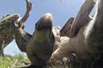 Трапеза стервятников с жуткого ракурса — видео, снятое из туши жертвы