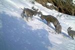 Горные козлы на территории природного парка Алатай Токтогульского района Джалал-Абадской области