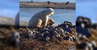 Белый медведь гладит ездовую собаку по голове — умилительное видео