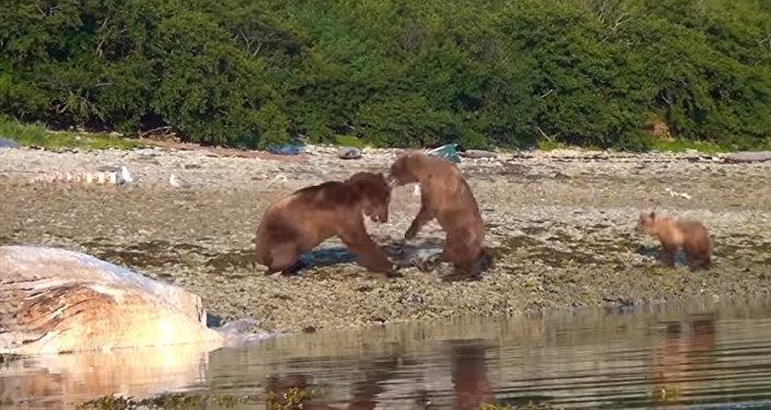 Медведь проучил сородича за то, что обидел медведицу с детенышем. Видео