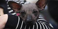 Собака породы мексиканская голая собака (ксолоитцкуинтли). Архивное фото