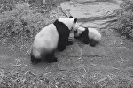 Жесткая любовь панды к детенышу озадачила пользователей Сети. Видео