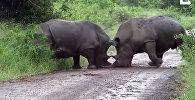 Ожесточенная схватка двух огромных носорогов попала на видео