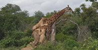 Жираф чудом спасся от гибели после нападения шести львов. Видео