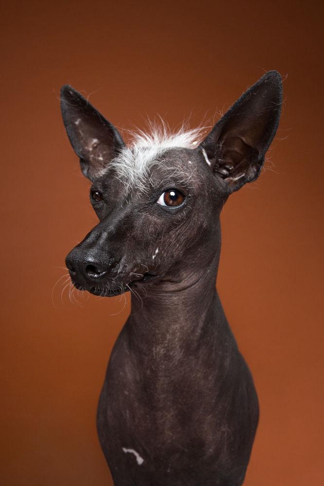 Ксолоитцкуинтли или мексиканская голая собака Адель
