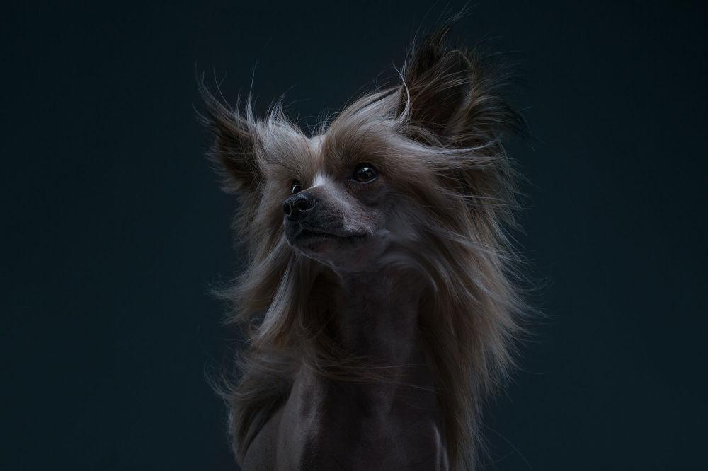 Китайская хохлатая собака Елисей