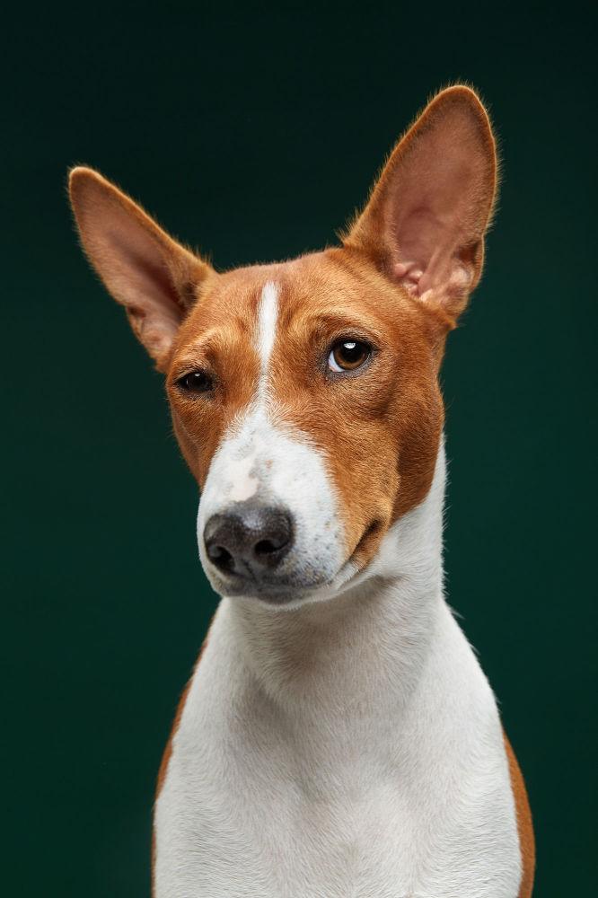 Басенджи или африканская нелающая собака Фиджи